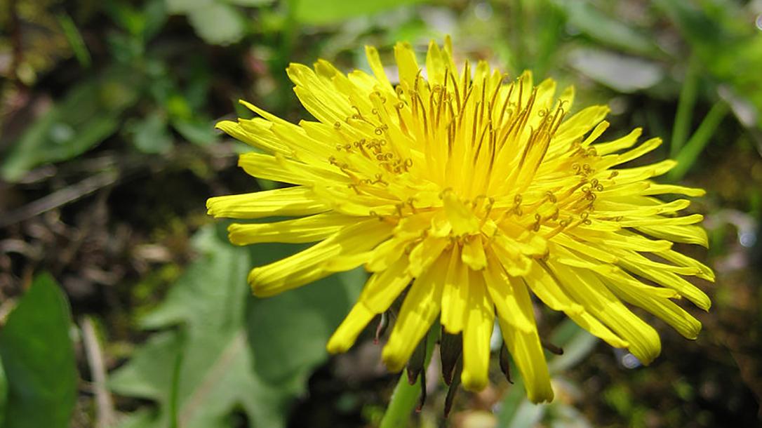 Edible Plants: Dandelion, yard, garden