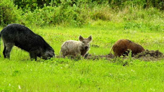 feral hogs are invasive and destructive