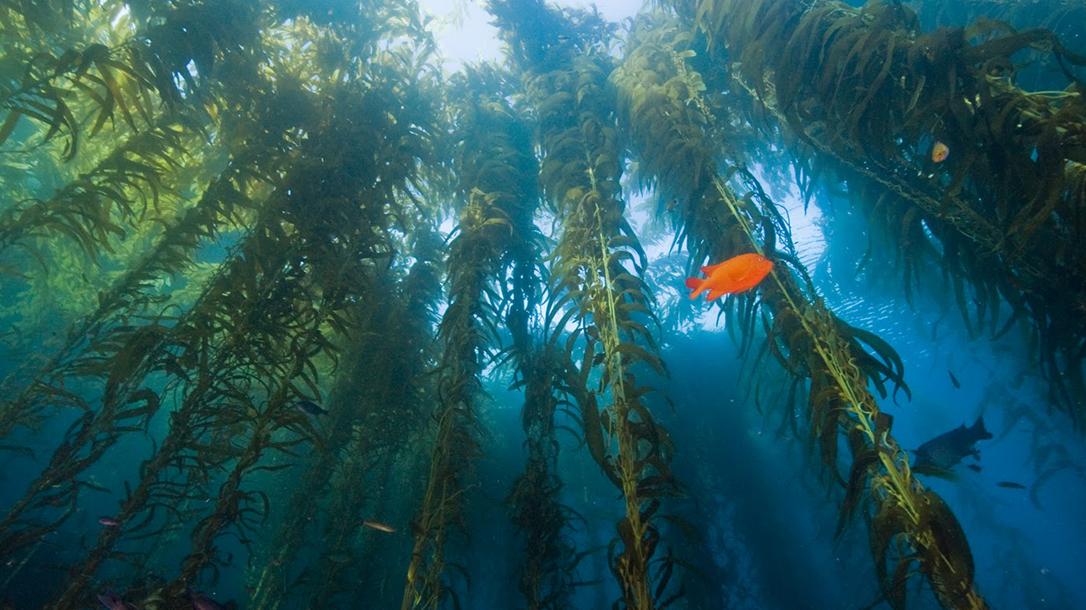 Edible Plants: Kelp, seaweed, ocean