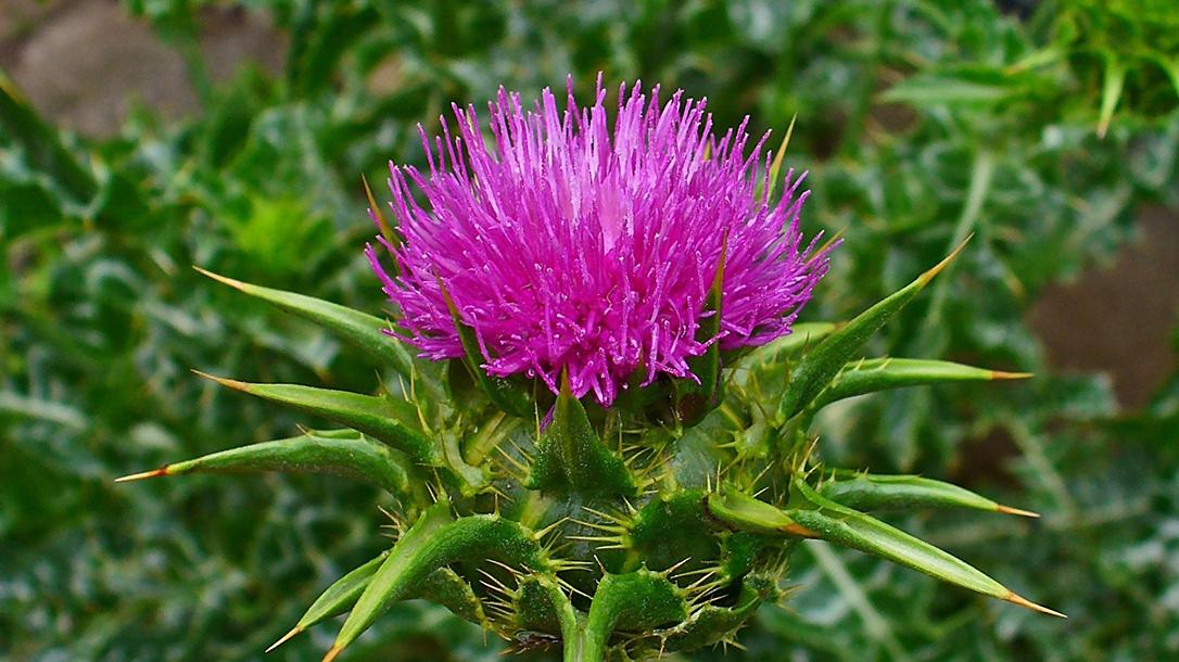 Edible Plants: Thistle