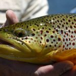 Fly tying, brown trout, flies