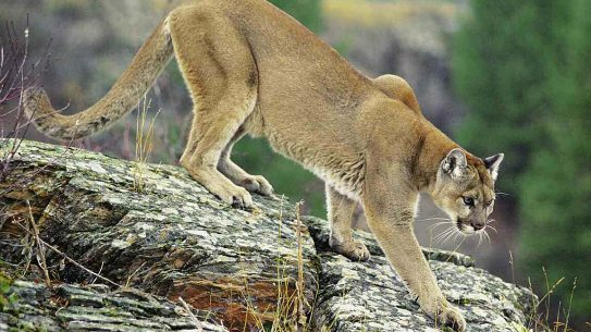 cougar attack, Washington, killing one man