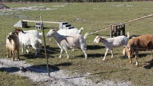 goat milk fence, penned area escape