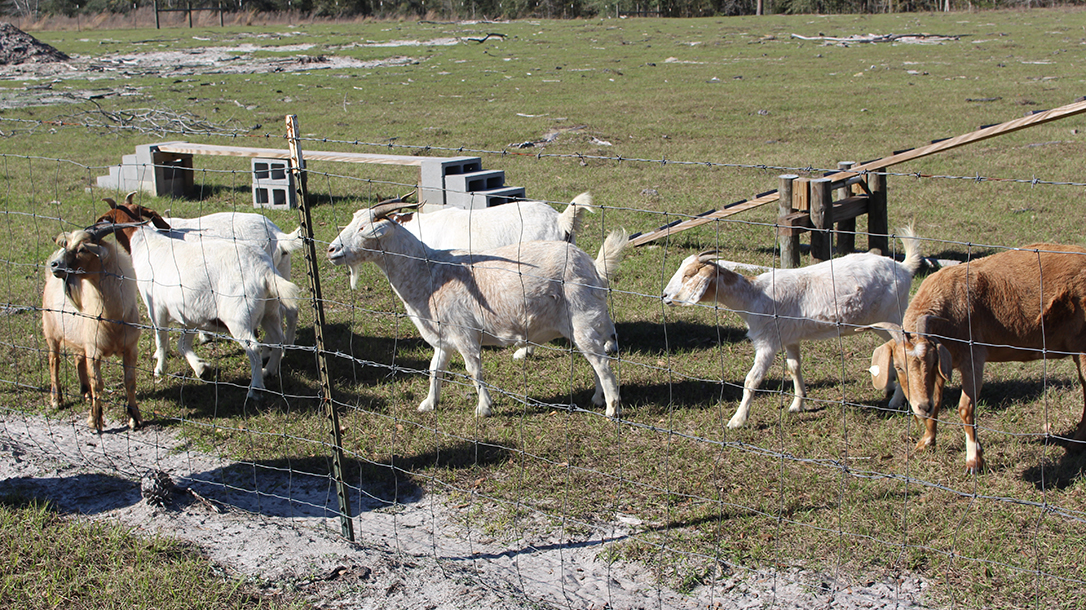 goat milk fence, penned area escape