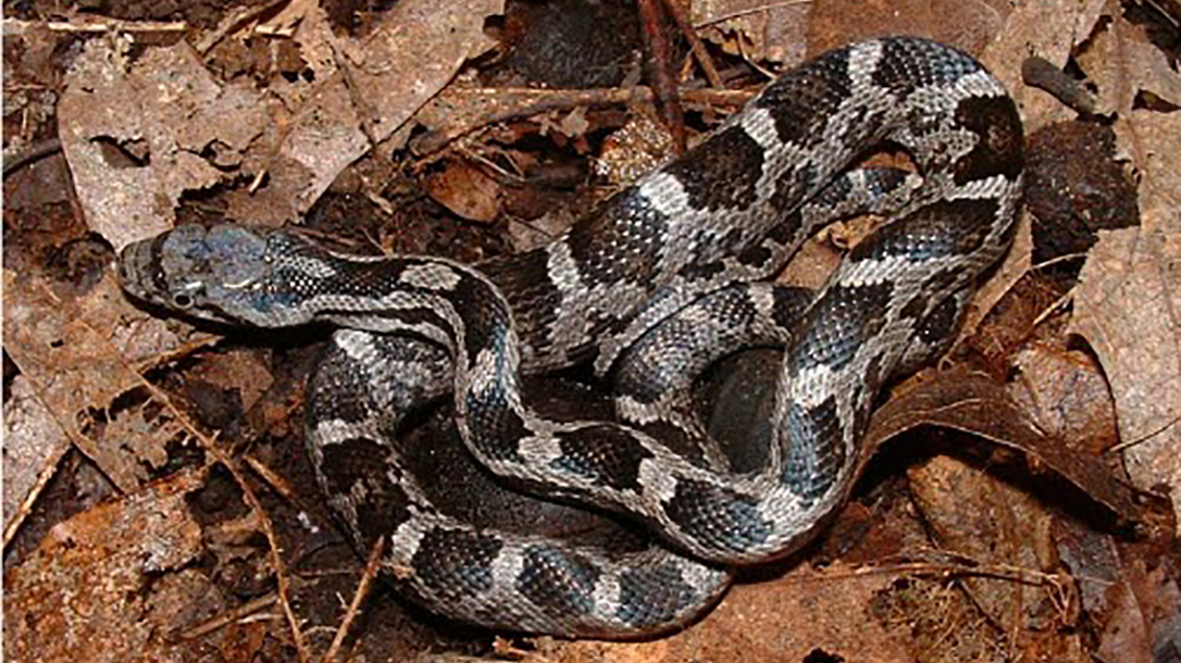 ratsnakes, light gray, dark blotches