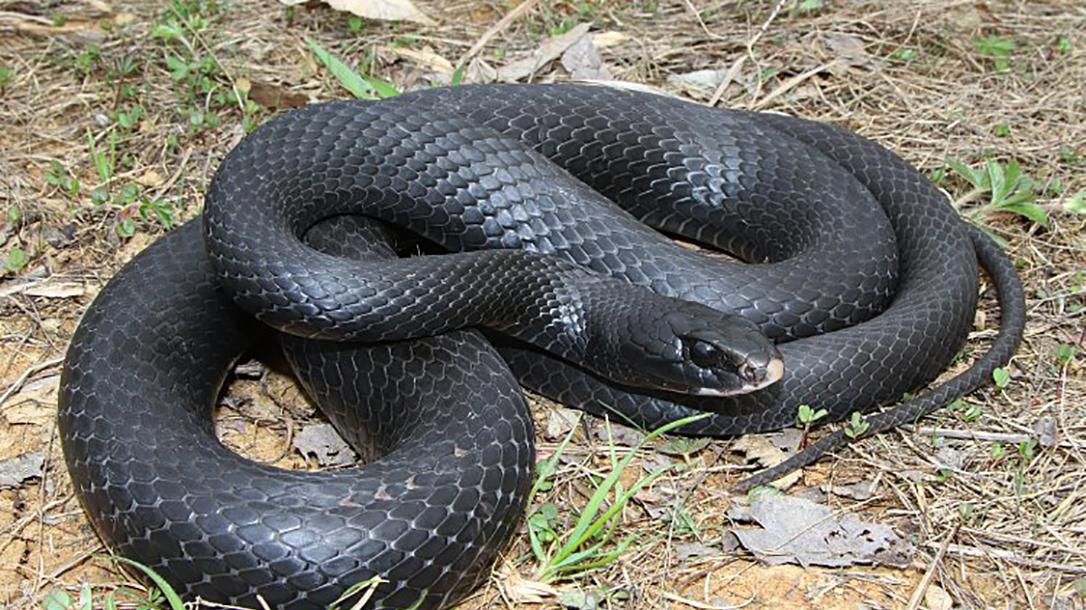 Racer snake, black