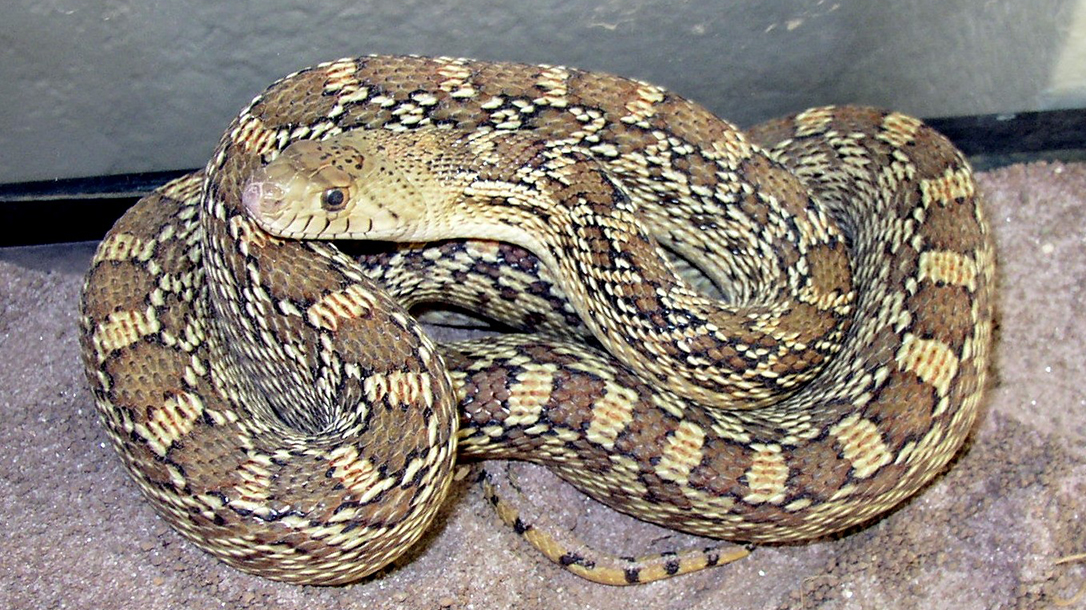 gopher snake, pests, brown