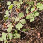 Poison Oak vine, leaves of three
