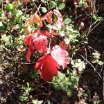 poison oak red leaves