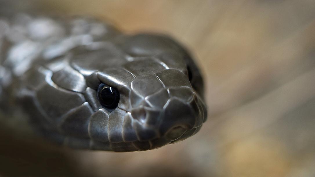 nonvenomous snakes, head shot