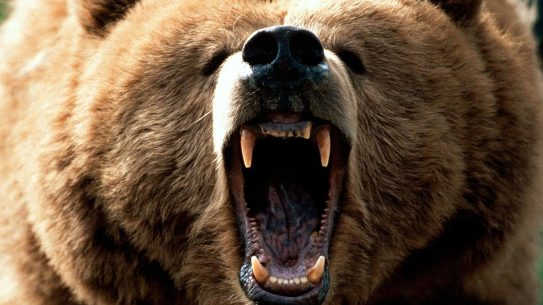 brown bear attack Alaska