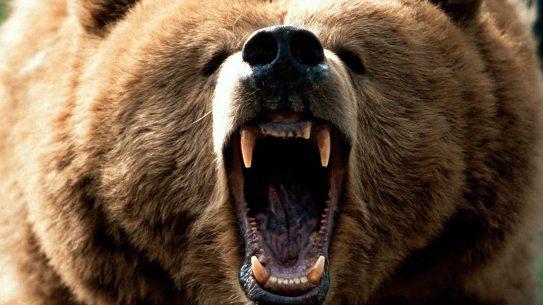 brown bear attack Alaska