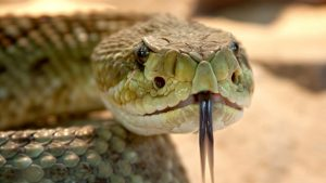 rattlesnake, venomous, head