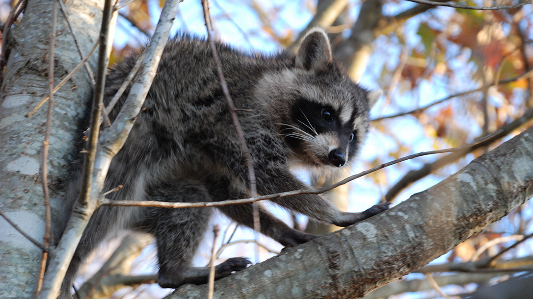 racoon, tree, fall