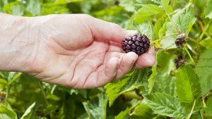 Wild Berries, hand