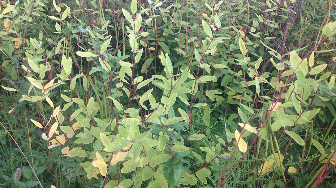 Lifesaving plants, Dogbane