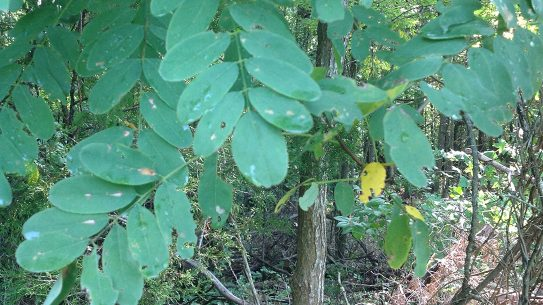 Lifesaving plants, black locust