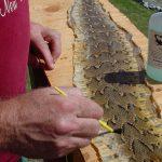 snake skin, applying the Snaketan