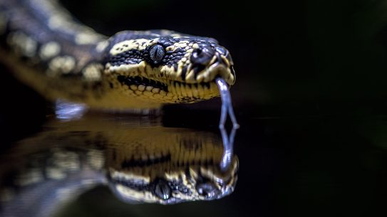 Snake skin, snake on reflective table.