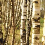 birch bark stand of trees