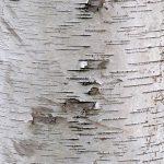 birch bark tree