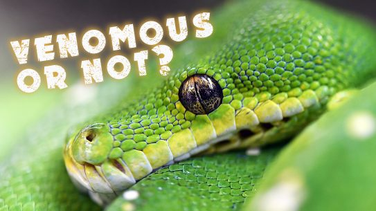 green tree viper, venomous snakes