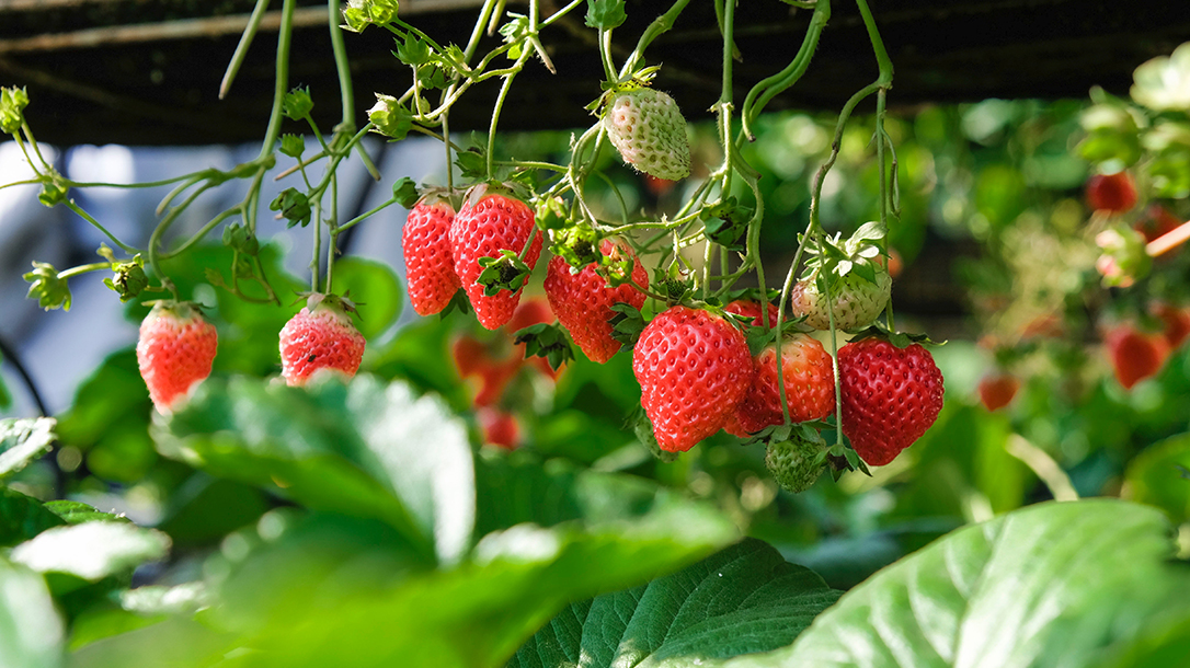 Garden Hacks strawberries on vine