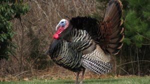 wild turkey in a field