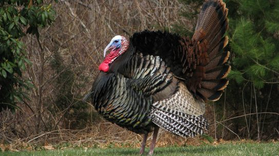 wild turkey in a field