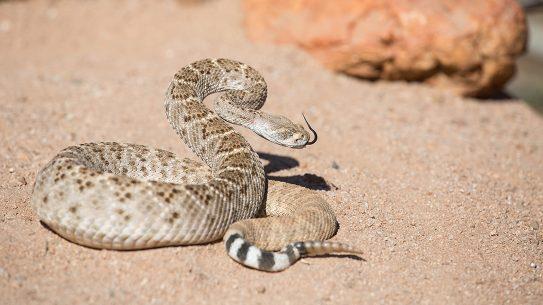 rattlesnake, venomous snakes, sand
