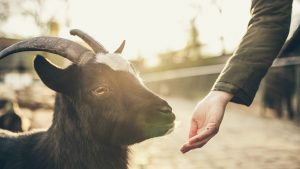 goat, petting zoo, feeding, hand