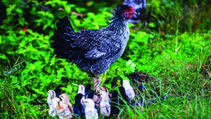 chicken and its chicks