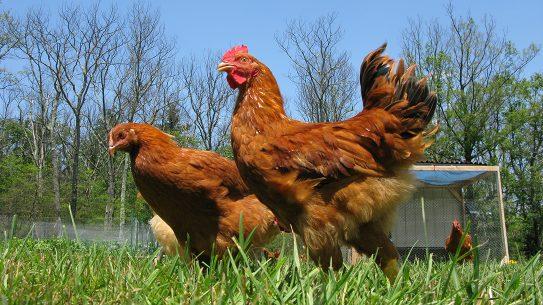 Raising Chickens, Chicken Farm, buying chickens
