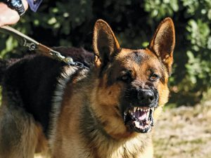 guard dog, guard dogs, protection dog, protection dogs, dog training
