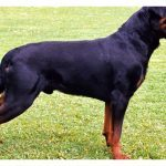 guard dog, guard dogs, protection dog, protection dogs, rottweiler