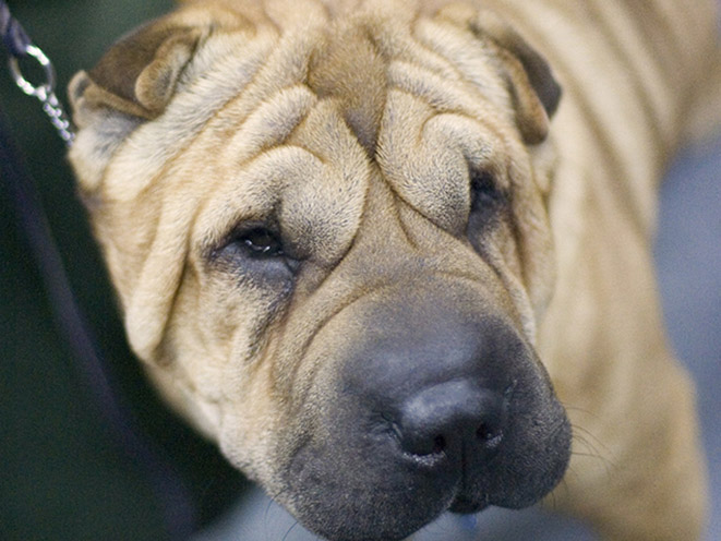 Chinese Shar-Pei personal protection dogs