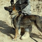 German Shepherd personal protection dogs