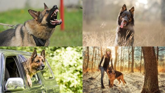Protection Dogs, Protection Dog, K-9, pet
