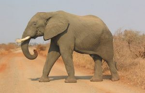 Elephant Trophy Hunt