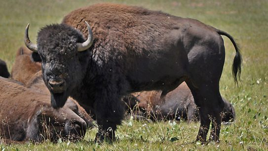grand canyon bison herd closeup